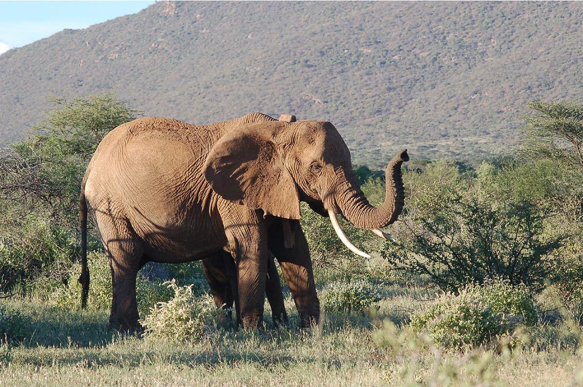 Un elefante, en elparque natural Samburu, en Kenia.