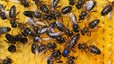El 75% de la mel conté pesticides que maten les abelles