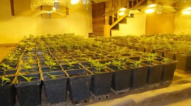 Dos detinguts i 269 plantes de marihuana decomissades en un local de Sant Martí