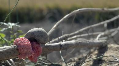 Cargol poma: convivint amb l'invasor