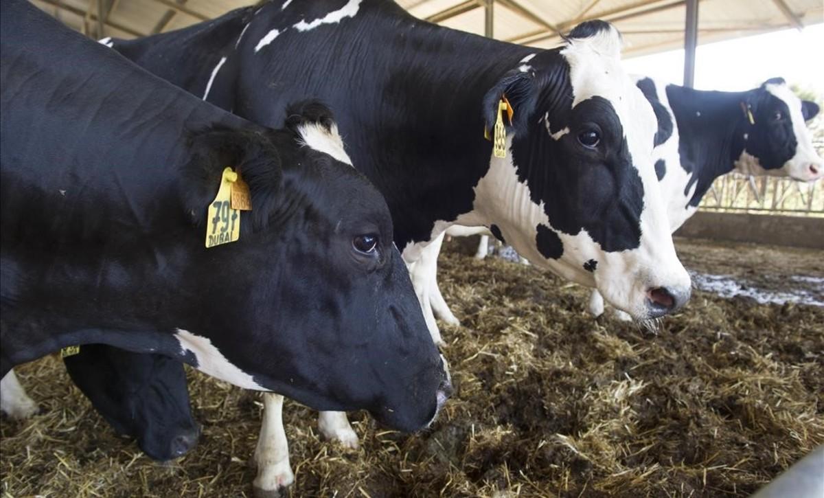 La Generalitat autoritzarà la venda de llet crua de ramaders a particulars