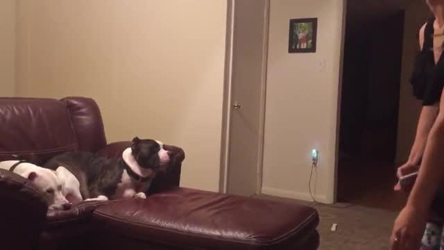 Harvey, el gos a qui no li agraden les fotos