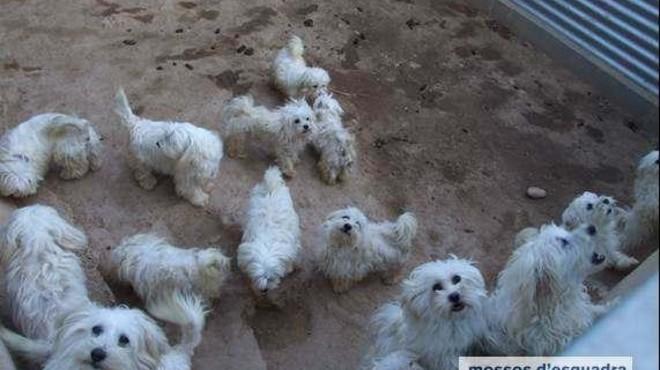 101 cadells de gos rescatats d'un centre de cria il·legal de Rubí