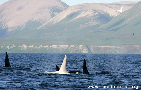 Primeras im�genes de una orca albina
