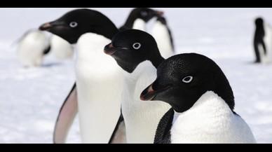 Unos 6 millones de pingüinos adelaida viven en la Antártida oriental