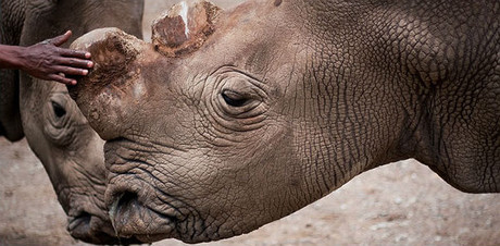 'Suni', el ejemplar de rinoceronte blanco que ha sido hallado muerto.