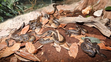 Algunas de las crías de anaconda nacidas en el Bosque Inundado de CosmoCaixa.