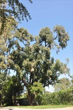 El gran eucalipto del Jardín de Aclimatación