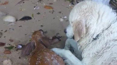Un perro rescata a una cría de ciervo que se ahogaba cerca de Nueva York