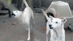 Dos perros que se asilvestraron tras ser abandonados, en la perrera de la protectora de animales de Lleida.