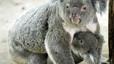 Austràlia sacrifica en secret gairebé 700 coales