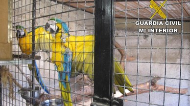 Guacamayos para criar decomisados por la Guardia Civil.