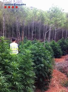 Plantación de marihuana incautada a los agentes rurales.