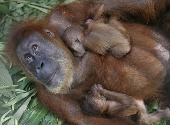 Los orangutanes maman casi hasta los nueve años