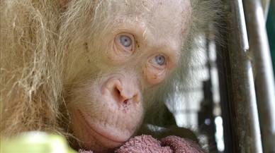 Es busca nom per a l'orangutana albina