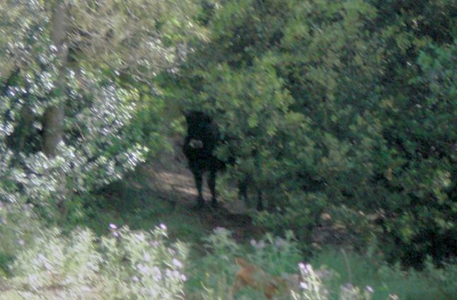 Capturado vivo el toro que llevaba tres meses libre en bosques del Vall�s Oriental