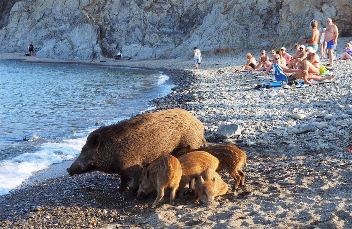 lpedragosa35498800 a wild boar and her piglets arrive on a beach to cool off in160912223426
