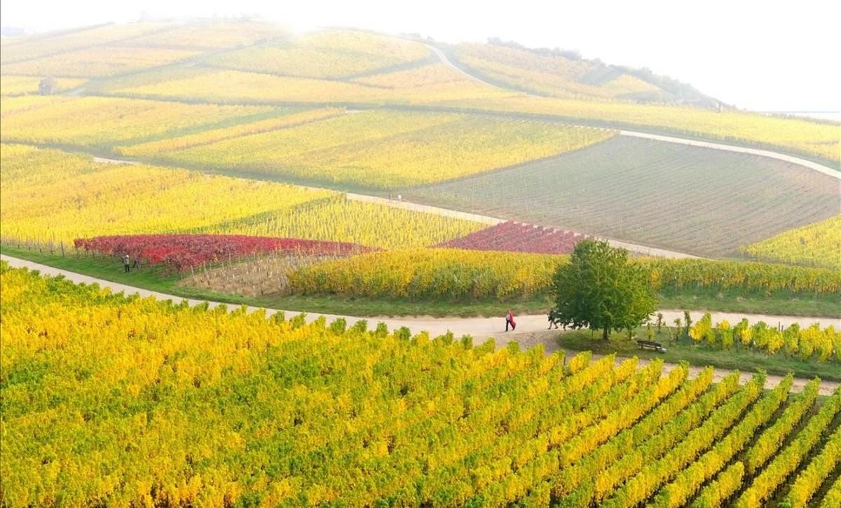 El otoño llena de color las viñas en Ruedesheim, Alemania.