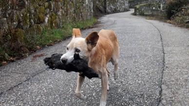 Las otras víctimas del incendio de Galicia: una perra 'salva' el cadáver de su cachorro calcinado
