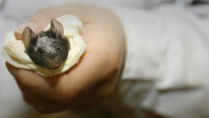 Uno de los ratones Beethoven sometidos a la terapia experimental contra la sordera congénita, en el Instituto Nacional de Ciencias Biológicas de Pekín.