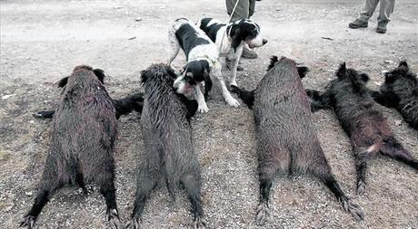 Cos a terra 8 Dos gossos ensumen els cossos sense vida de diversos senglars després d'una jornada de caça a l'Alt Empordà.