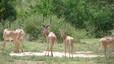 Beatragus hunteri (antílope de Hunter). Especie de antílope o damalisco que vive en el norte de Kenia y, posiblemente, el sur de Somalia. Amenazado por la degradación de los hábitats debido a la persistencia de las sequías, la competencia del ganado doméstico y la caza furtiva como apreciado trofeo. Población estimada: menos de 1.000 individuos.