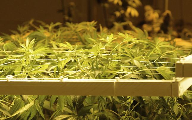 Plantas de marihuanacultivadas en Denver, Colorado, EE.UU.