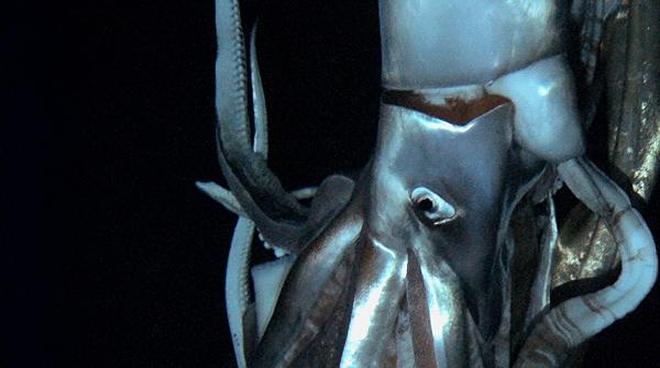 Son las primeras imágenes en movimiento del calamar gigante en su hábitat natural.