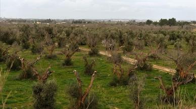 Olivos afectados por la Xylella en la región italiana de Puglia.