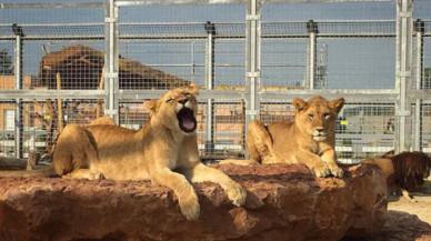 El apasionado abrazo de dos leonas agradecidas