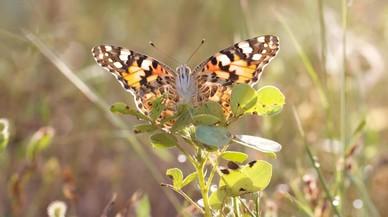 Un ejemplar de la mariposa cardera o 'Vanessa cardui' en Ben�n.