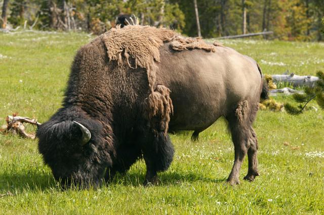 O Bisonte Debandada Letra Los bisontes llegaron ...