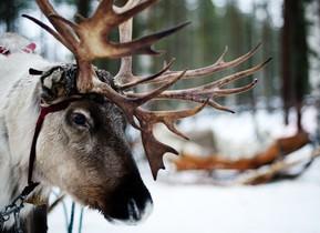 Un reno en la ciudad finlandesa de Rovaniemi, en una foto de archivo.