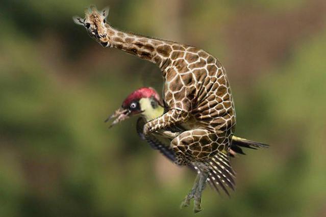 L 39 incre ble vol d 39 una mostela damunt d 39 un ocell - Carpintero en barcelona ...