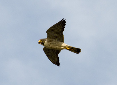 Halcn peregrino.