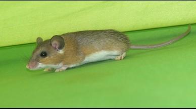 Un ratón doméstico o 'Mus musculus'.