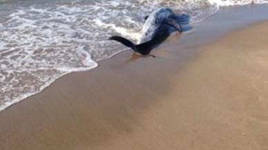 Encontrado un delfín gris muerto en la playa de Gavà