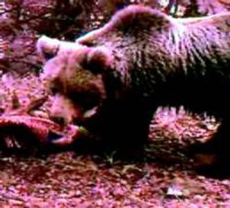 Una càmera oculta capta un ós bru de prop al Pirineu