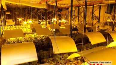 Desmantellada una nau de marihuana al Baix Penedès