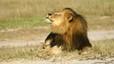 Un lleó mata un guia de safari a la reserva africana de Cecil