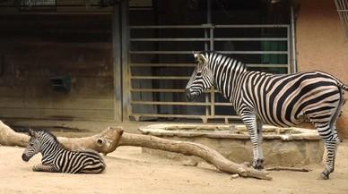 Barcelona duplica el presupuesto del zoo para acometer su 'refundación'