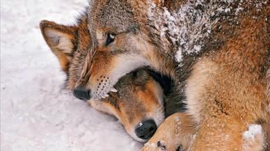 Dos lobos peleando en el zoo de Z�rich.