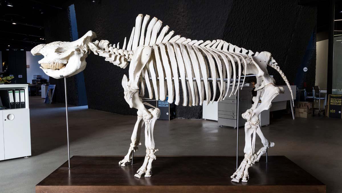 Matabele: el penúltimo rinoceronte del zoo de Barcelona
