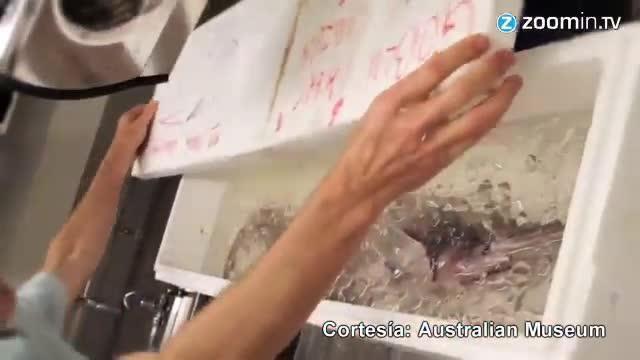 Austràlia captura un 'alien' de les profunditats