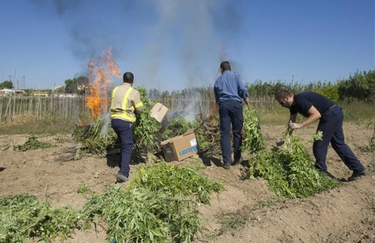 Los mossos pesan y destruyen marihuana incautada en la Travessera de Marimunt de Lleida.