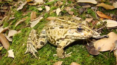 Una escola de Parets ajuda a certificar el descobriment d'una granota amb una longevitat de rècord