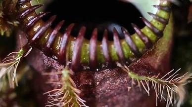 Com una planta es fa carnívora