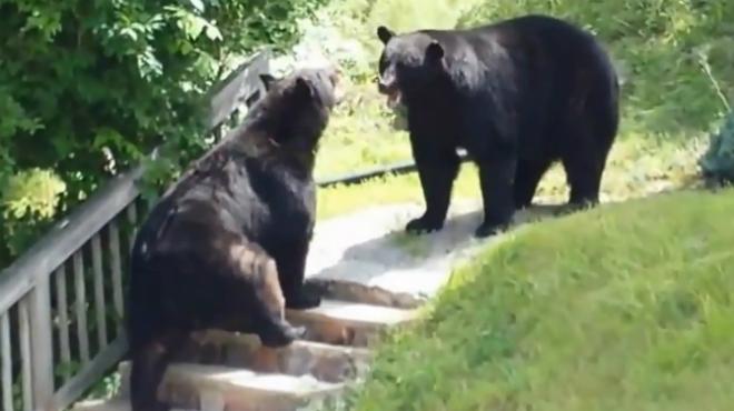 Duelo de osos en Nueva Jersey