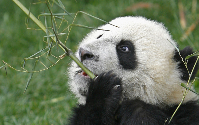 Los Osos Panda Digieren Mal El Bambú