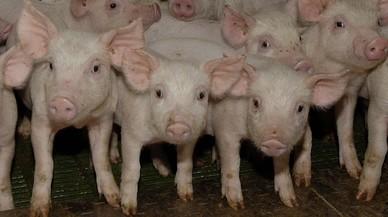 Cerdo y puro